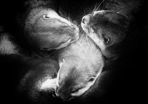 Reuzen Otter (2015)klein